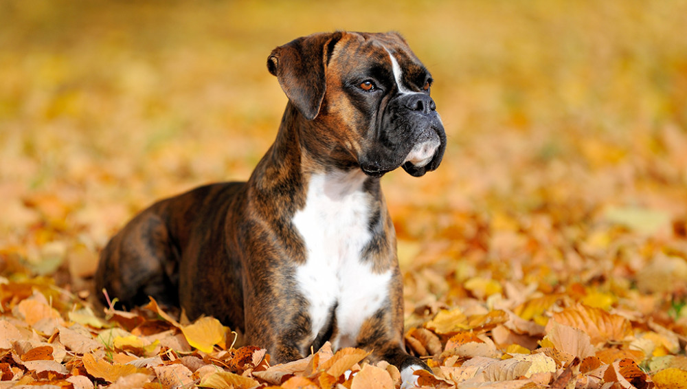 Tips For Training Your Pet Boxer