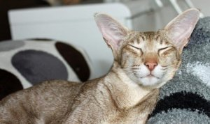 Why Do Cats Purr? It's Not Just Happiness