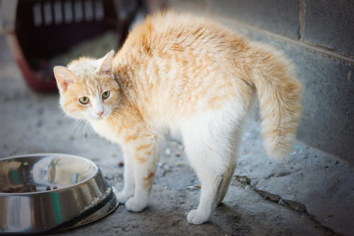 Ask A Vet: Why Does My Cat Arch His Back When He Is Afraid?