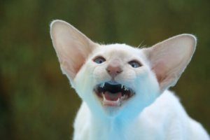 How To Clean The Crud Out Of Your Cat's Ears