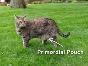 The Primordial Pouch: A Fancy Term For Cats' Saggy Bellies