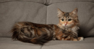 Hypoallergenic Cats: Purrfect Breeds for Allergy Sufferers
