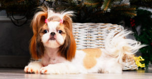 How to Care for Your Short-Nose Dog