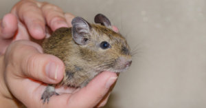 5 Unusual Pet Rodents You May Not Know About