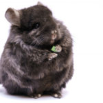 What Treats Are Safe For Chinchillas?